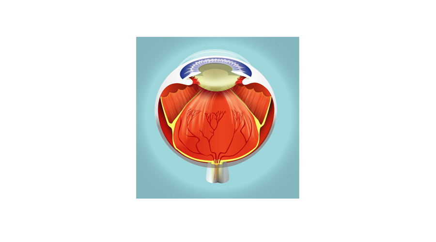 medical illustration eye